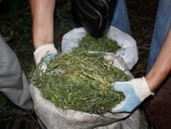 В Сумской области женщина на чердаке держала 56 кг конопли