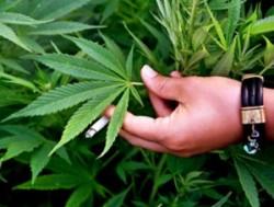 В Лисичанске мужчина выращивал наркотики для души