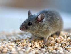 Полевая мышь поможет ученым разработать новые методы лечения алкоголизма