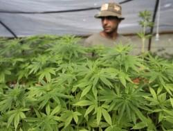 40 доз марихуаны в крымском сарае